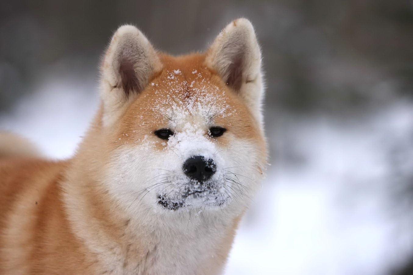 Chinesische Dogge