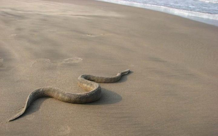 Suechtig-Nase Seeschlange