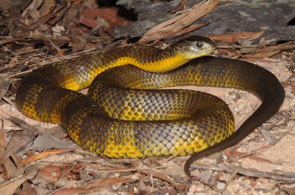 Top 10 Die Giftigsten Schlangen Der Welt Kunstop De
