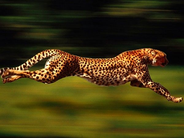 1. Cheetah