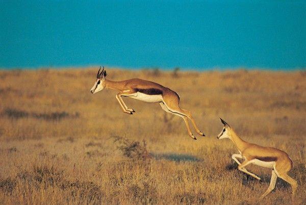 4. Springbok