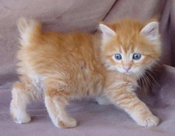 American Bobtail Katze