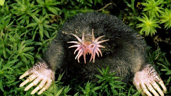 Star-Nosed-Mole