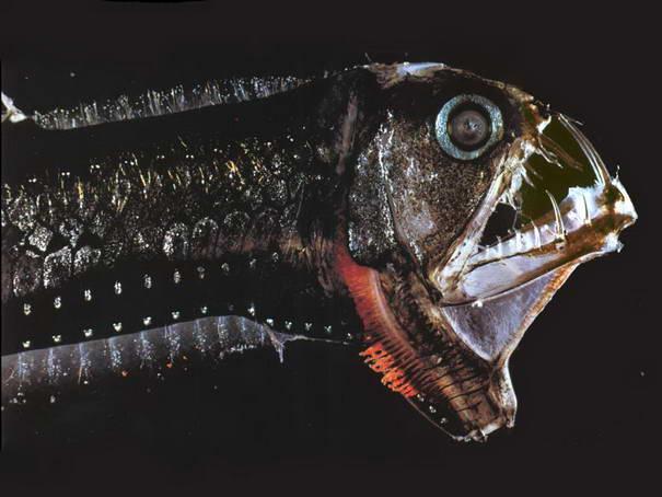 Viperfisch