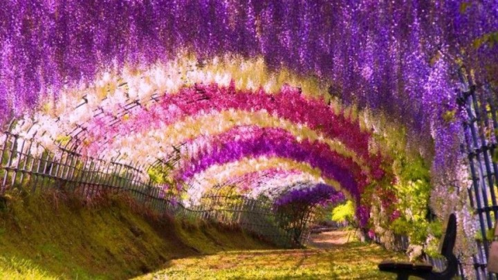 Wisteria-Tunnel in Japan