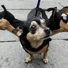 hund-mit-drei-koepfen-suessen-kostuem-15