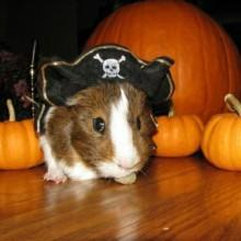 piraten-hamster-halloween-pet-kostueme-colle-ideen-17