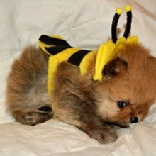 pomeran-baby-sweet-bee-kostuem-idee-halloween-14